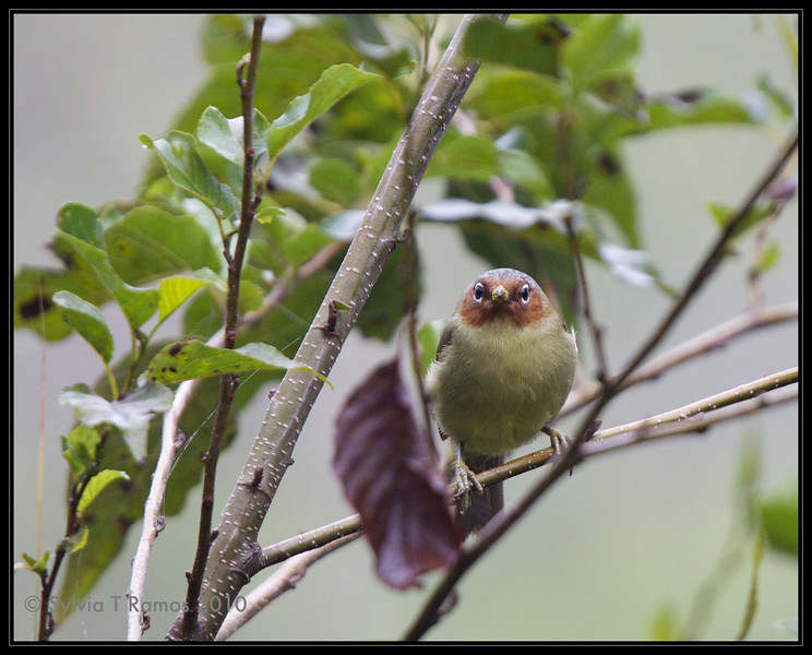 CHESTNUT-FACED BABBLER <i>Stachyris whiteheadi</i> Sagada, Mountain Province, Philippines