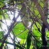 GOLDEN-CROWNED BABBLER <i>Stachyris dennistouni</i> Northern Sierra Madre, Luzon, Philippines