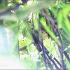 LUZON STRIPED-BABBLER <i>Stachyris striata</i> Northern Sierra Madre, Luzon, Philippines
