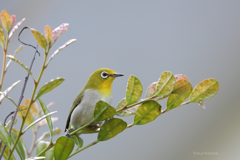 LOWLAND WHITE EYE <i>Zosterops meyeni</i> Batan, Batanes, Philippines  <i>batanis</i> race which is slightly larger and brighter than <i>meyeni</i>