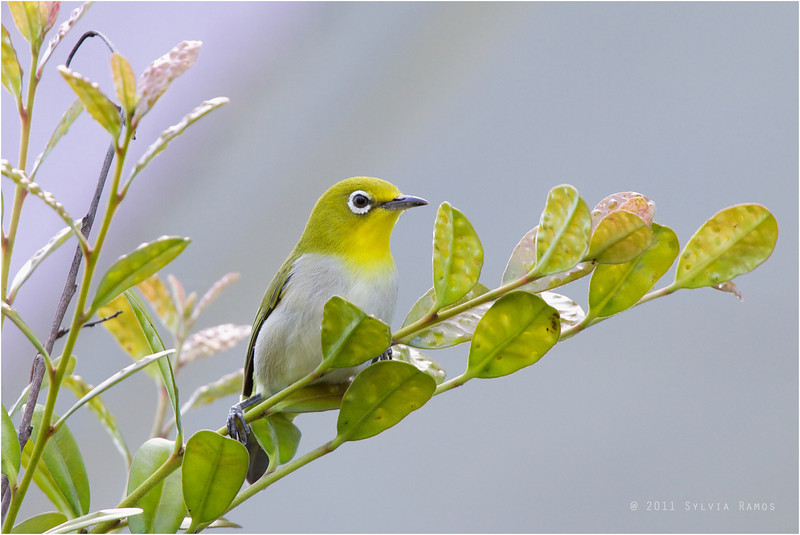 LOWLAND WHITE EYE <i>Zosterops meyeni</i> Batan, Batanes, Philippines  <i>batanis</i> race which is slightly larger and brighter than <i>meyeni</i>  Ha! I had to put my picture even though it looks exactly like Tonji's! My best White Eye picture!!