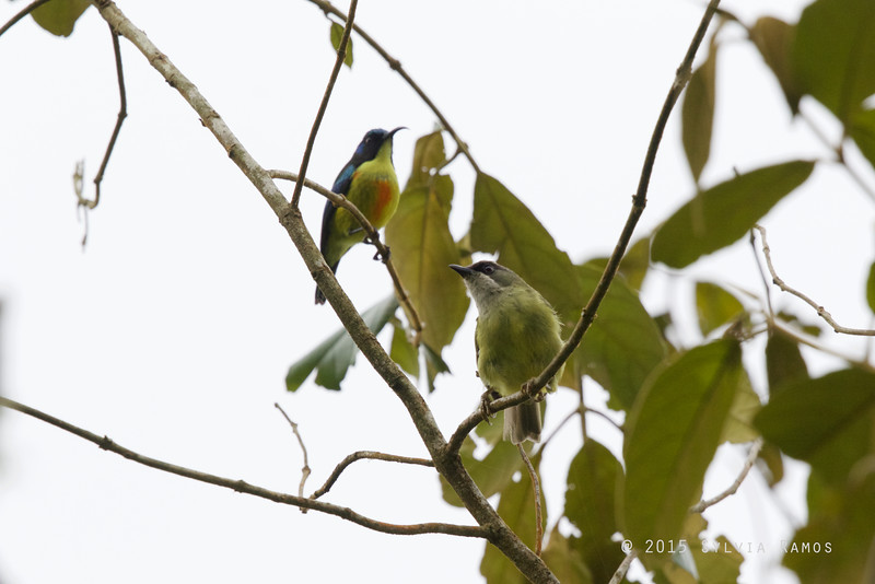 BLACK-MASKED WHITE-EYE