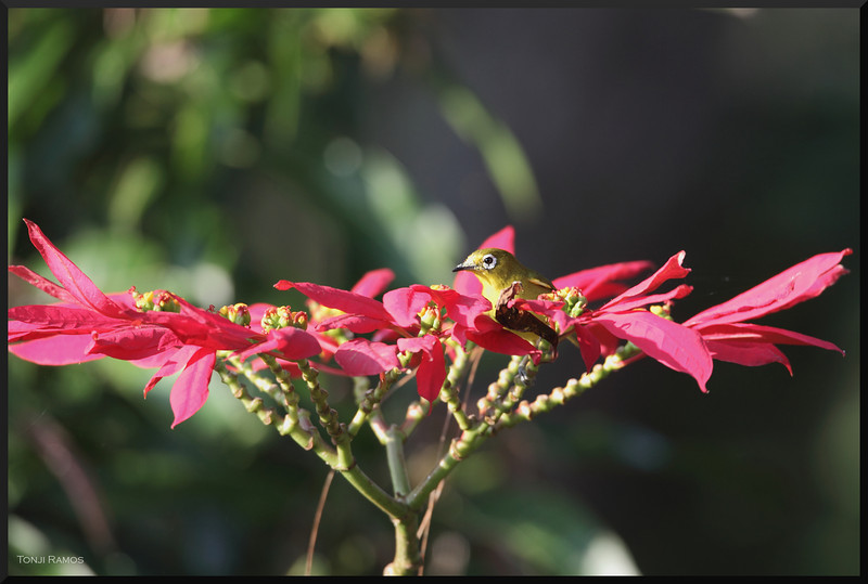 MOUNTAIN WHITE EYE  <i>Zosterops montanus</i>