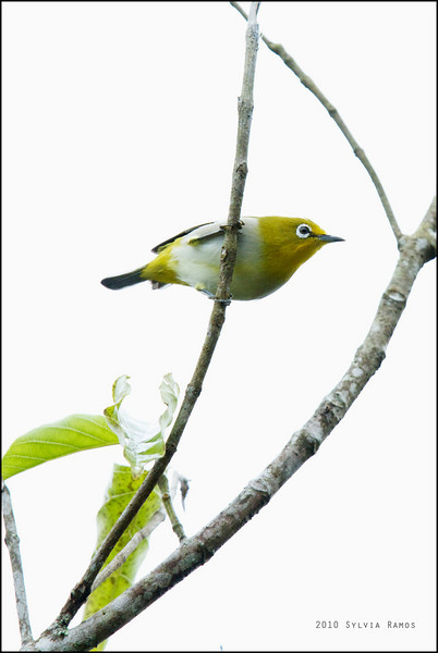 MOUNTAIN WHITE EYE  <i>Zosterops montanus</i> Mt. Kitanglad, Bukidnon, Philippines