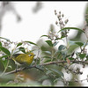 MOUNTAIN WHITE EYE  <i>Zosterops montanus</i> Mt.Polis, Mountain Province, Philippines