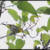 MOUNTAIN WHITE EYE  <i>Zosterops montanus</i> Sagada, Mountain Province, Philippines