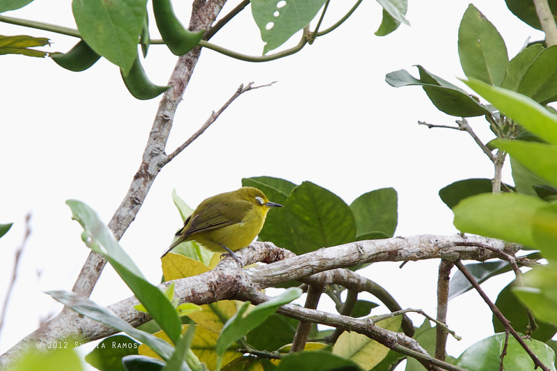 YELLOWISH WHITE-EYE <i>Zosterops nigorum</i> Banaue Hotel, Mountain Province, Philippines  This bird was sleeping.