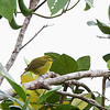 YELLOWISH WHITE-EYE <i>Zosterops nigorum</i> Banaue Hotel, Mountain Province, Philippines  This bird was sleeping.