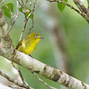 YELLOWISH WHITE-EYE <i>Zosterops nigrorum</i> Bongabon, Nueva Ecija, Philippines