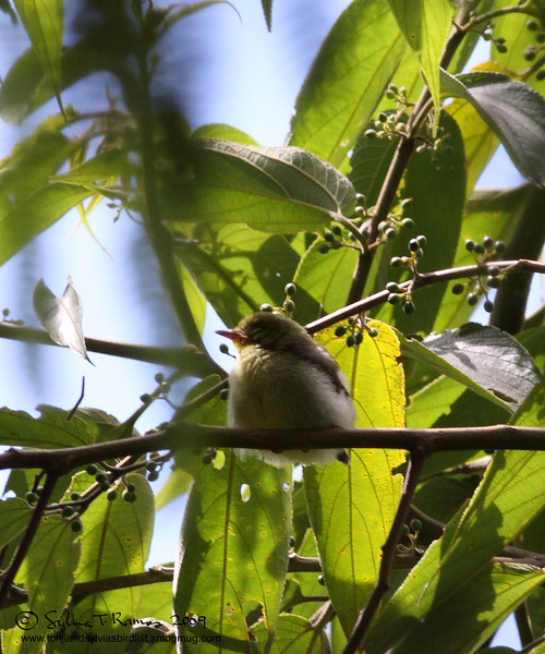 YELLOWISH WHITE-EYE <i>Zosterops nigorum</i> Sierra Madre, Nueva Ecija