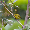 YELLOWISH WHITE-EYE <i>Zosterops nigorum</i> Mt. Polis, Mountain Province, Philippines
