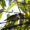 YELLOWISH WHITE-EYE <i>Zosterops nigorum</i> Sierra Madre, Nueva Ecija