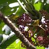 YELLOWISH WHITE-EYE <i>Zosterops nigorum</i>> Sierra Madre, Nueva Ecija