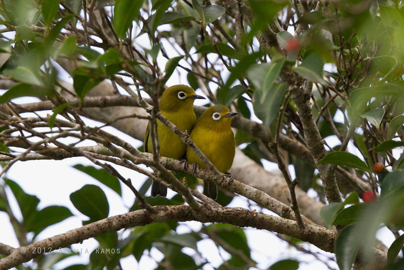 YELLOWISH WHITE-EYE <i>Zosterops nigorum</i> Bongabon, Nueva Ecija, Philippines
