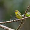 YELLOWISH WHITE-EYE <i>Zosterops nigrorum</i> Lake Balinsasayao, Sibulan, Negros Occidental