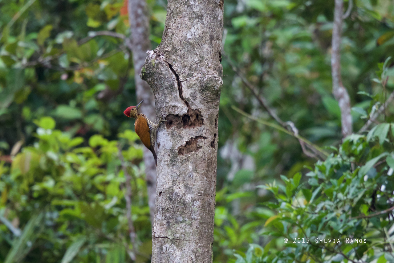 BUFF-SPOTTED FLAMEBACK