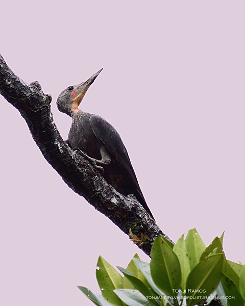 GREAT SLATY WOODPECKER, male <i>Mulleripicus pulverulentus</i> Sabang, Palawan  Listed in the Kennedy guide as uncommon and becoming rarer. Its a very big woodpecker we thought it was a heron at first. Amazing looking bird.
