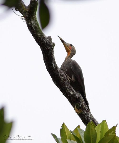 GREAT SLATY WOODPECKER, male <i>Mulleripicus pulverulentus</i> Sabang, Palawan