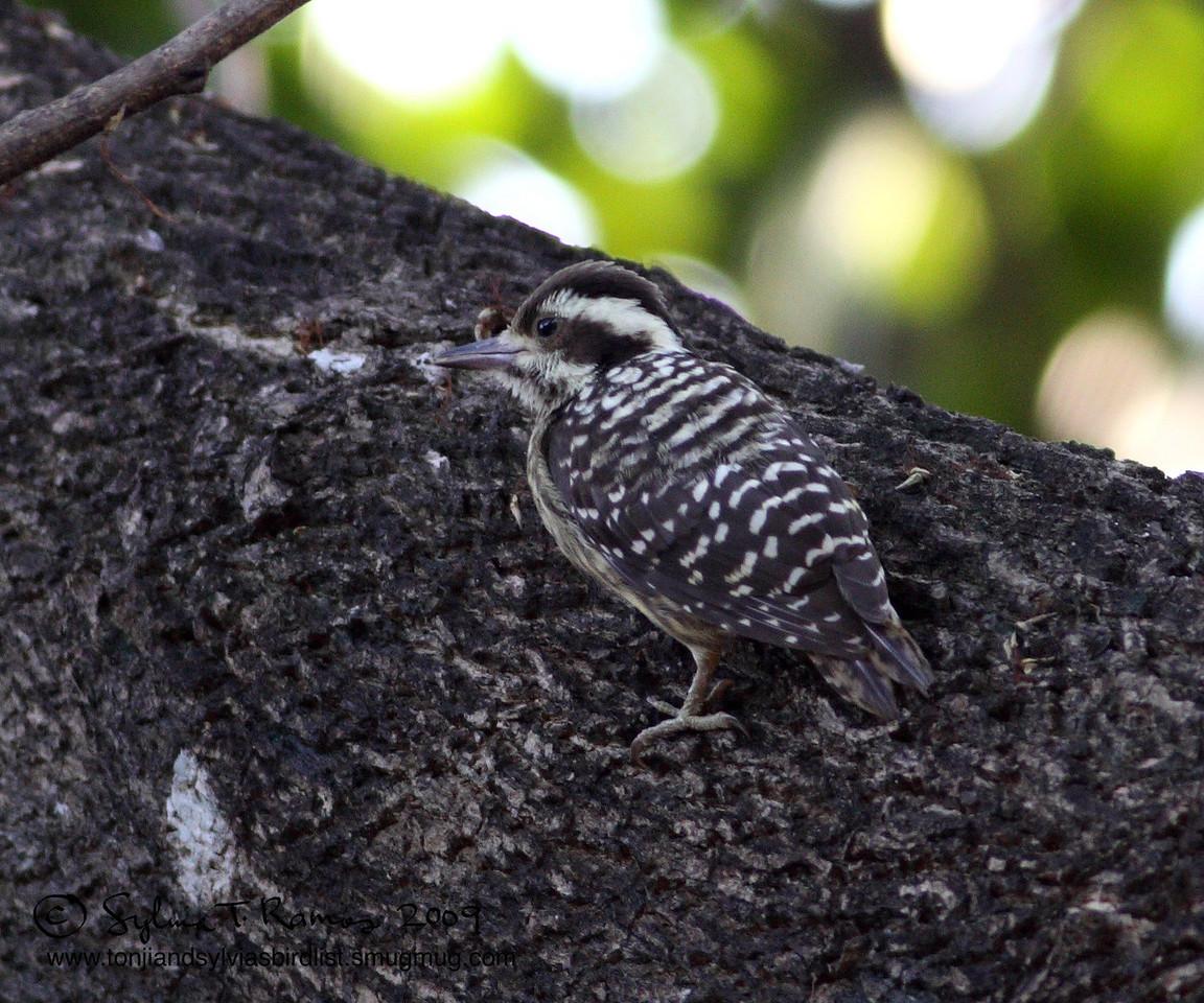 PHILIPPINE PYGMY WOODPECKER <i>Dendrocopos maculatus</i> Alabang, Philippines