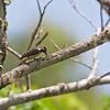 PHILIPPINE PYGMY WOODPECKER <i>Dendrocopos maculatus fulvifasciatus</i> Zamboanga,  Mindanao