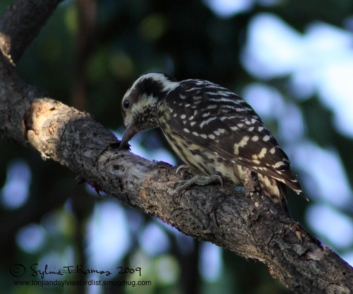 PHILIPPINE PYGMY WOODPECKER <i>Dendrocopos maculatus</i> Los Baños, Philippines