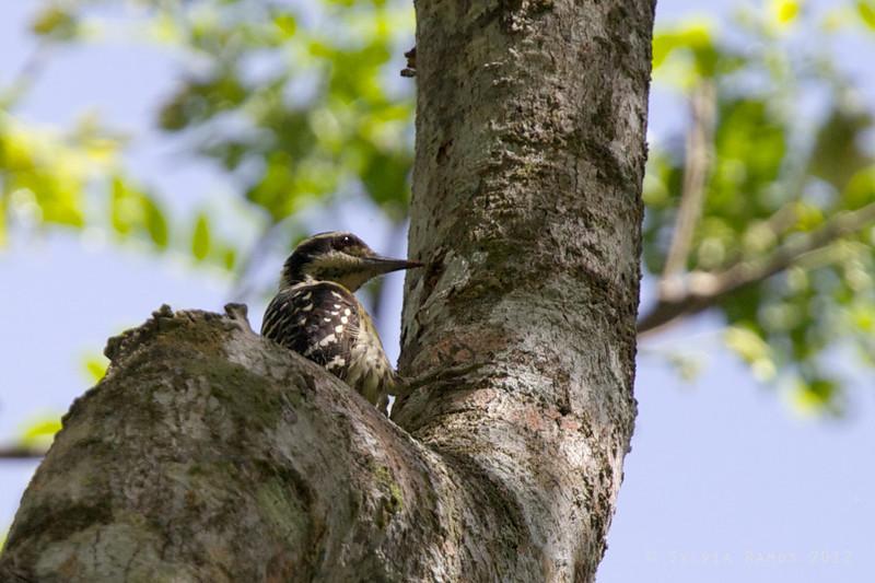 PHILIPPINE PYGMY WOODPECKER <i>Dendrococopos maculatus fulvifasciatus</i> Pasonanca, Zamboanga   There are 7 races of Philippine Pygmy Woodpecker.