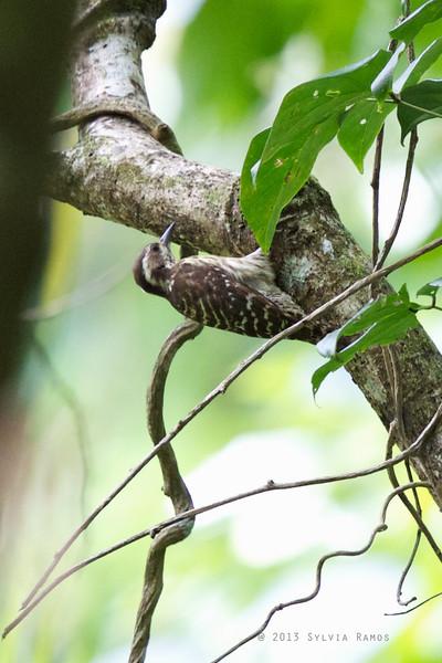 PHILIPPINE PYGMY WOODPECKER <i>Dendrococopos maculatus maculatus</i> Nug-as, Alcoy, Cebu
