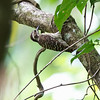 PHILIPPINE PYGMY WOODPECKER <i>Dendrococopos maculatus maculatus</i> Nug-as, Alcoy, Cebu