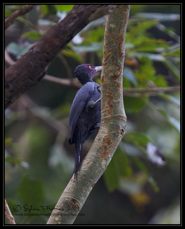 NORTHERN SOOTY WOODPECKER, male <i>Mullerpicus funebris</i> Mt. Palay-palay, Cavite, Philippines