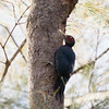 NORTHERN SOOTY WOODPECKER
