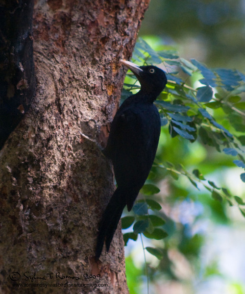 NORTHERN SOOTY SOOTY WOODPECKER, female <i>Mullerpicus funebris</i> Subic, Zambales, Philippines