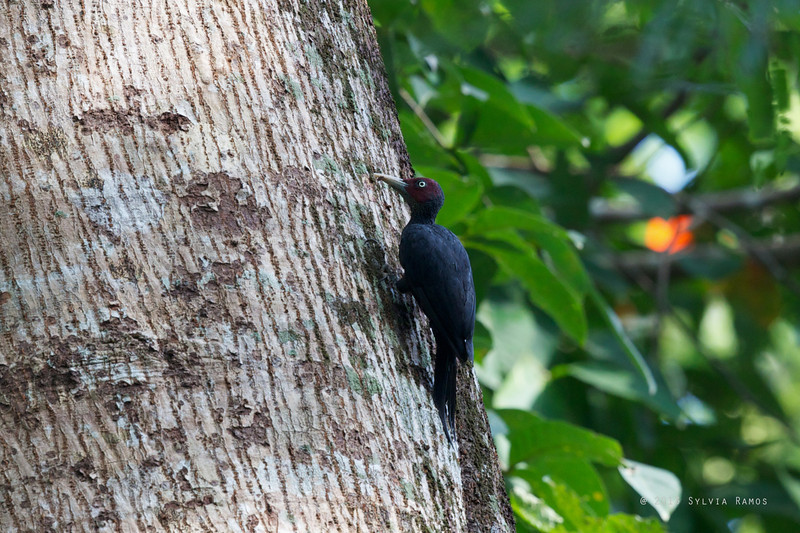 NORTHERN SOOTY SOOTY WOODPECKER, male <i>Mullerpicus funebris</i> Subic, Zambales, Philippines