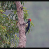 WHITE BELLIED WOODPECKER <i>Dryocopus javensis</i> Sagada, Mountain Province, Philippines