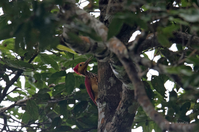 YELLOW-FACED FLAMEBACK, male <i>Chrysocolaptes xanthocephalus</i> Mt. Kanlaon, Negros Occidental