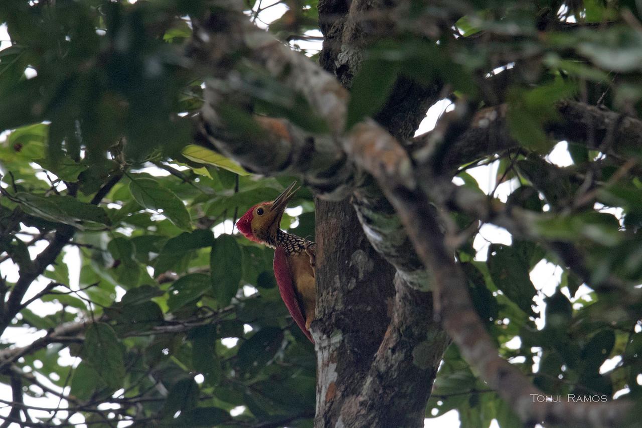 YELLOW-FACED FLAMEBACK, male <i>Chrysocolaptes xanthocephalus</i> Mt. Kanlaon, Negros Occidental
