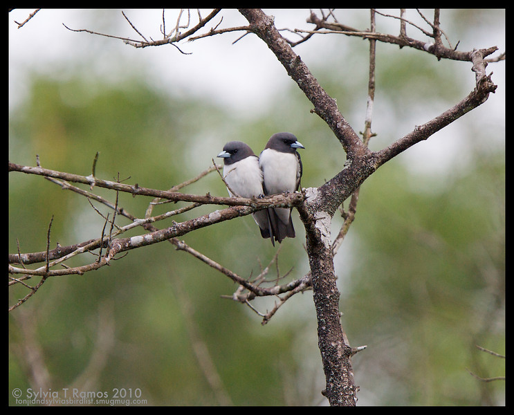 WHITE-BREASTED WOODSWALLOW <i>Artamus leucorynchus</i> La Mesa Dam, Quezon City, Philippines