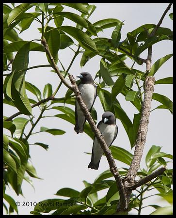 Woodswallows