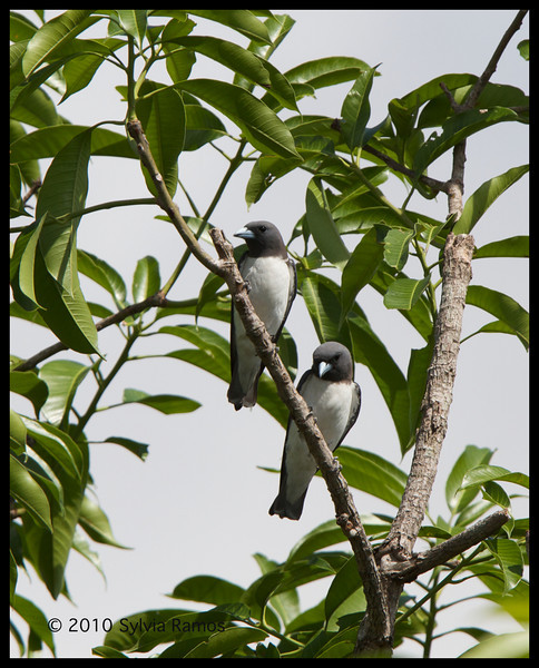 WHITE-BREASTED WOODSWALLOW <i>Artamus leucorynchus</i> Orchard Golf Course, Cavite, Philippines