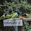 Green Jays at Feeder