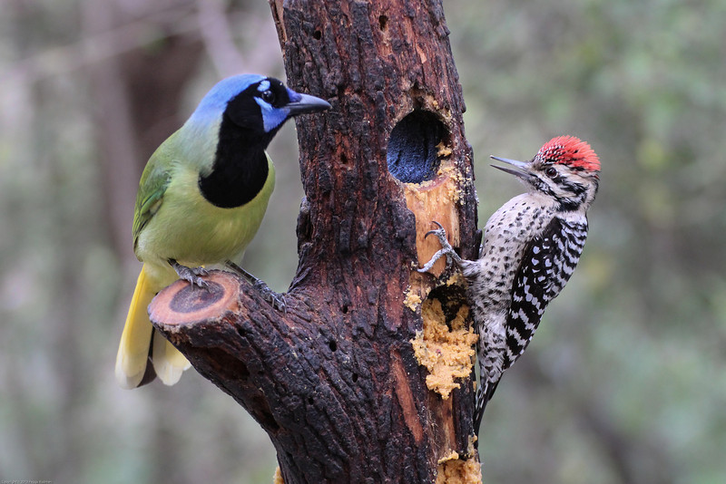 Green Jay and Ladder-backed Woodpecker