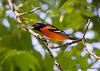 Northern Oriole