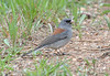 """gray-headed"" Dark-eyed Junco<br /> Genesee Mountain Park"