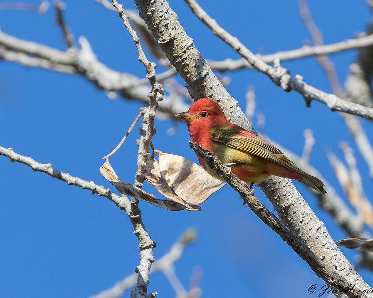 Summer Tanager - First year male