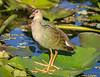 Purple Gallinule - Immature