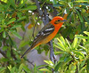 Flame-colored Tanager at Madera Kubo