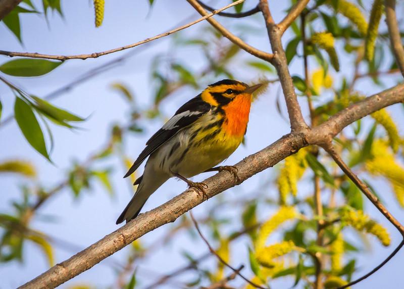 Blakburnian Warbler