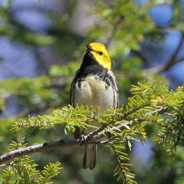 Black-throated Green Warbler at Indian Lake