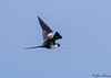 Magnificant Frigatebird
