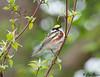 Chetnut-sided Warbler