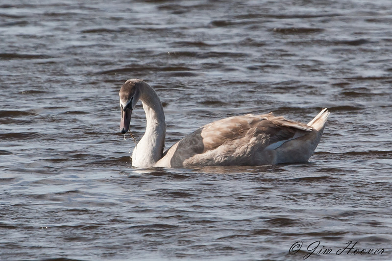 Mute Swan<br /> Parker River National Wildlife Refuge